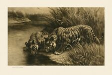 Tigers Reproduction of a 1911 Engraving by Herbert Dicksee England FREE S/H