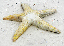 Giant Starfish Outdoor Garden Statue Sculpture by Orlandi Statuary FS8428