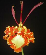 Nice Psychopsis papilio species Orchid Plant in spike