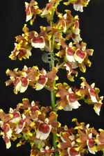 Oncda. Jimbo 'Swarm' Orchid Plant in spike
