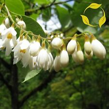 FRAGRANT SNOWBELL Styrax Obassia SEEDS