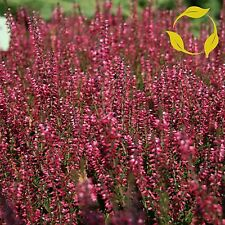 SCOT'S HEATHER Calluna Vulgaris SEEDS