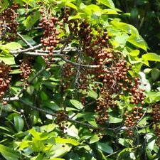 CHINESE WONDER TREE Idesia Polycarpa SEEDS