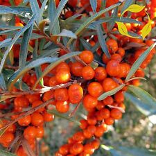 SEA BUCKTHORN Hippophae Rhamnoides SEEDS