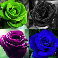 50 Graines de rose semer fleur plante jardin flower seeds multicolore rainbow