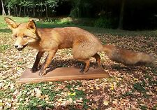 Taxidermy RED FOX Vintage French mounted adult Vulpes Vulpes stuffed wild animal