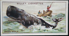 Sperm Whale     Original 1920's Vintage Illustrated Card   VGC
