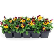 100Pcs Seeds Pansy Seeds Garden Decoration  Bonsai Plant Pansy Flower Seeds