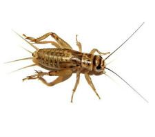 "500 Live Brown Crickets 1/8"" through Adults starting at $14.99 FREE SHIPPING"