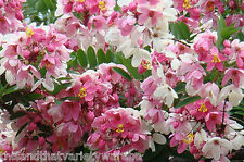 Apple Blossom Shower Tree seeds Cassia javanica  Fast Shipping from USA!