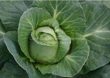 Early Jersey Wakefield  Heirloom Cabbage Seeds! Fast Shipping From USA Non GMO
