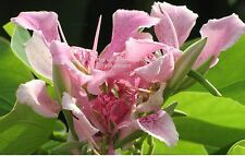 Butterfly Flower Seed Bauhinia monandra Tropical Seeds! Pink Orchid US Seller