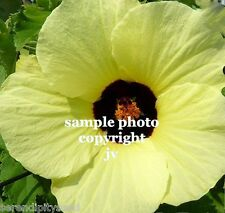 Hibiscus vitifolius Flower seeds Bright Yellow Flowers Tropical Rose Mallow