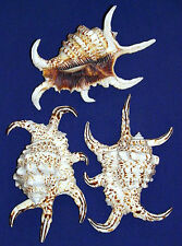 "Lambis Chiragra Spider Conch Shells ~4""-5""~ Seashell Craft Select 2/4/6 Pcs."