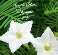 Ipomoea quamoclit White Cypress Vine Plant Seeds Tropical Foliage Unique Flower