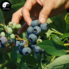 Buy Blueberry Fruit Tree Seeds 50pcs Plant Anthocyanin Berries For Bilberry