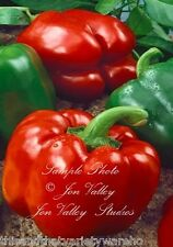 Pepper seeds Keystone Resistant Giant non GMO Sweet Juicy Large Bell Green - Red