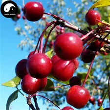 Buy Malus Fruit Tree Seeds 60pcs Plant Malus Baccata Tree For Wild Fruit Malus