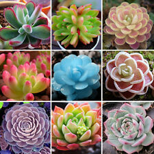 Succulent Plant Seeds 60 Rare Perennial Sedum Mixed Seeds Radiation Protection