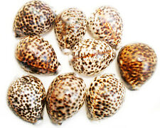"12 Small Tiger Cowrie Shell (Cypraea Tigris) 2""+ (50-64mm) Craft Beach Decor"