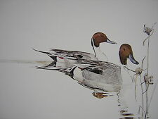Thomas Quinn Drake Pintails Nut Grass Pintail Duck Signed Art Print