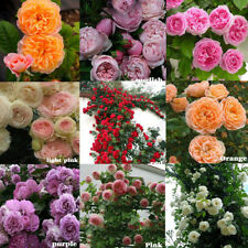 100X climbing rose rosa multiflora perennial fragrant flower seeds home decTB
