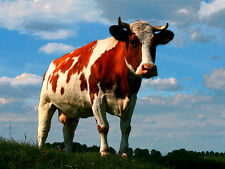 5467.Brown and white cow in pasture.udders.POSTER.decor Home Office art