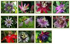Passion Flower Vine Passiflora Plant 1 of 11 Types, Red, White, Blue Purple SZ#4