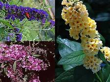 Buddleia Butterfly Bush Plant Fragrant Attracts Butteflies Pink Yellow or Purple