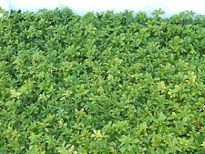 Pachysandra Groundcover Deer Resistant Evergreen Perennial low as $0.20 a Plant