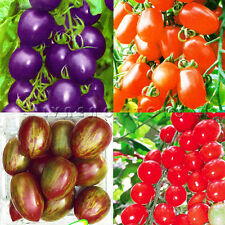 TOMATO SEEDS Purple Cherokee Cherry Black Red Yellow Blue Zebra Tomato