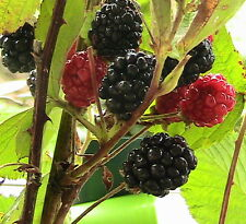 Fruiting Plant/Tree Seeds 15-20 Cold Treated Seeds for Easy Germination