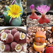New 30 Lithops Seeds Rare Exotic Bonsai Succulents Seeds Potted Plants Seeds