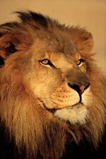 New Close-up of a Lion African Wildlife Photography Poster
