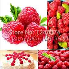 Red Raspberry Seeds - Delicious Raspberries - Finest Seeds