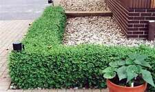 GREEN GEM BOXWOOD - No Maintenance Evergreen - LIVE PLANTS - (Pick your size)