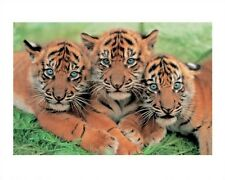 New Tiger Cubs Wildlife Photography Print
