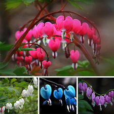 10pc Pop Perennial Spectabilis Herbs Dicentra Plant Bleeding Heart Flower Seeds