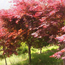 Unique Japanese Maple Tree Bonsai Seeds Acer Palmatum Atropurpureum Plant