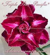"""ADENIUM OBESUM DESERT ROSE """" TRIPLE STAR PACIFIC """" 1 GRAFTED PLANT FREE SHIPPING"""