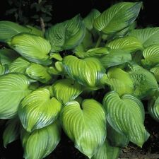 """hosta GUACAMOLE large fragrant disease-free healthy 3"""" pot ☆1 Live Potted Plant☆"""