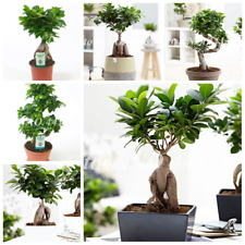 Ficus Lyrata Bonsai Tree Balcony Potted Banyan Tree Bonsai Leaf Gar 50pcs / Bag