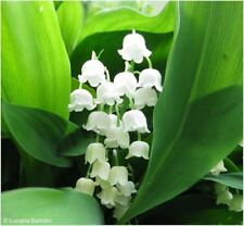 4 Convallaria Lily of the Valley Spring Garden Perennial Root White Flower Plant
