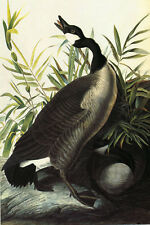 Canada Goose Audubon Bird Fly Sing  Nature Fine Art Vintage Poster Repro FREE SH