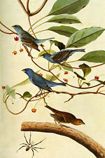 Indigo Bunting Audubon Bird Canvas or Paper Vintage Poster Repro FREE SHIPPING