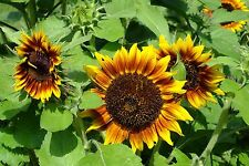 Sunflower Seed: Ring of Fire Sunflower Seeds  Fresh Seed   FREE Shipping