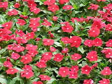 Flower Seed: Vinca Cooler Series Seeds Fresh Seed  FREE Shipping!