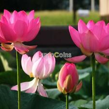 New Colorful Garden Fresh Green Lotus / Peony Seeds Planted
