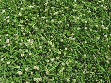 1/4 - 50 Lbs White Dutch Clover Seed - Deer Bees Pasture Forage Food Plots