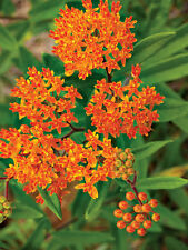 1 oz Butterfly Common Swamp Showy Milkweed Seeds - Pollinator - Butterfly + Bees